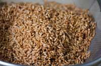 Проросшие ягоды пшеницы